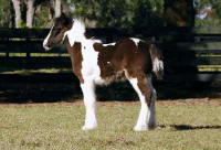 Eclipse, Gypsy Vanner Horse colt
