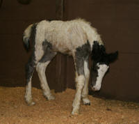 GG Kingshill Filly, 2007 Gypsy Vanner Horse foal