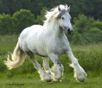 Silver Belle, imported Gypsy Vanner Horse mare