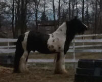 GG Shogun's God of War, 2008 Gypsy Vanner Horse stallion
