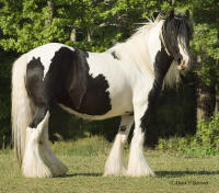 Isadora, imported Gypsy Vanner Horse mare