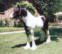 Bali as a yearling