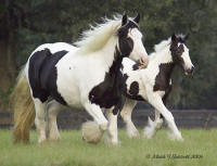 Rose, 1998 imported Gypsy Vanner Horse mare