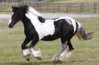 WR Sundance, 2009 Gypsy Vanner Horse filly