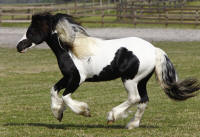GVR Cuil, 2008 Gypsy Vanner Horse colt