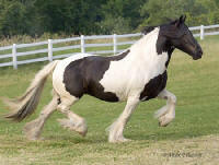 Black Faced Mare, 1997 imported Gypsy Vanner Horse mare