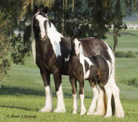 Kaeli, imported Gypsy Vanner Horse mare
