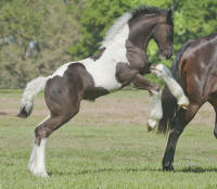 WR Annie Rose by Caymus, 2011 Gypsy Vanner Horse filly