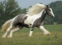 Silver Pearl, imported 2005 Gypsy Vanner Horse mare
