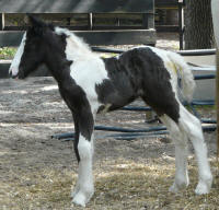 Caravanner's 50 Shades of Blue, 2012 Gypsy Vanner Horse filly