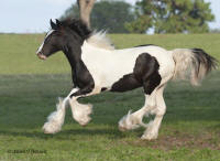 WR Maxwell, 2008 Gypsy Vanner Horse colt