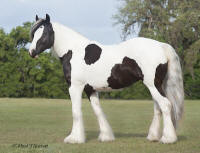 WR Trillium, 2007 Gypsy Vanner Horse filly