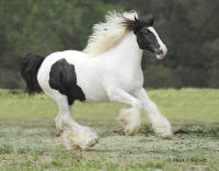 WR Lily Rose, 2008 Gypsy Vanner Horse filly
