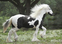 GVR Heavensent, 2008 Gypsy Vanner Horse filly
