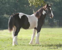 WR Cool Hand Luke, 2009 Gypsy Vanner Horse colt
