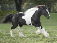 WR Sweet Tea Pie, 2008 Gypsy Vanner Horse filly