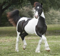 WR Briella, 2009 Gypsy Vanner Horse filly