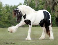 WR Heart of The King, 2006 Gypsy Vanner Horse stallion