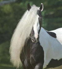 Pearlie King, 2009 Gypsy Vanner Horse stallion