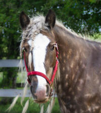 Apple Acre Sorcha, 2005 imported Gypsy Vanner Horse mare