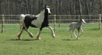 Abbeylara and KD's I Measure Up, 1999 imported Gypsy Vanner Horse mare and her 2007 colt