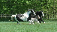 Abbeylara, KD's I Measure Up and KD Griffin, imported Gypsy Vanner Horse mare and her 2007 and 2005 sons