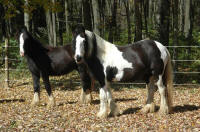 Abbeylara and KD Griffin, 1999 imported Gypsy Vanner Horse mare and her 2005 son
