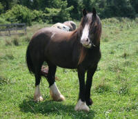 MVVR Abigail, 2010 Gypsy Vanner Horse mare