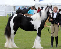 GRS Absolute Perfection, 2012 Gypsy Vanner Horse filly
