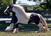 The 1234 Filly, 2004 Gypsy Vanner Horse mare