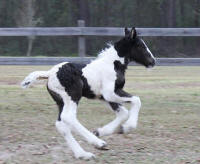 Aifric Filly, 2009 Gypsy Vanner Horse foal