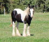 KF Ailish of the High Kings WW, 2008 Gypsy Vanner Horse filly