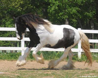 Alexis, 2005 imported Gypsy Vanner Horse mare