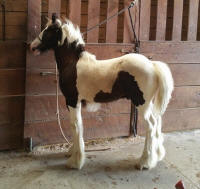 N'Co Roulette's All Bets Are In, 2016 Gypsy Vanner Horse colt