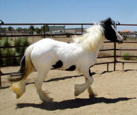 Amber Rose, 2008 Gypsy Vanner Horse filly