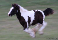 Thorn Hill Anastasia, 2009 Gypsy Vanner Horse filly