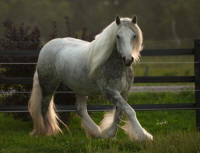 Anexia Star of Kastle Rock, 2009 Gypsy Vanner Horse mare