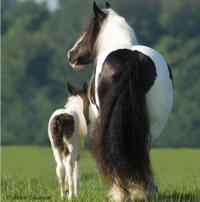 Anna and Kadison, Gypsy Vanner Horse mare and her 2006 colt