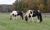 Latcho Drom's Mayze, 2006 Gypsy Vanner Horse mare