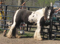 GG Shogun's God of War, 2008 Gypsy Vanner Horse colt