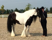 GG Latcho Drom's Mighty Aphrodite, 2008 Gypsy Vanner Horse mare