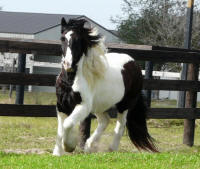 Apple Blossom, 2010 Gypsy Vanner Horse mare