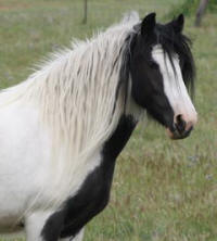April, 2003 imported Gypsy Vanner Horse mare