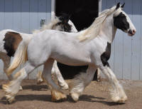 N'Co Mr. Bikers April Showers, 2011 Gypsy Vanner Horse filly
