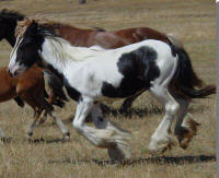 April, imported Gypsy Vanner Horse filly
