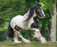 Aramis of Gypsy King, 2006 Gypsy Vanner Horse stallion