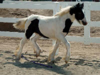 Aramis, 2007 Gypsy Vanner Horse colt