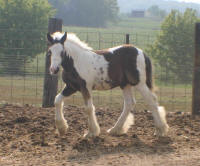 Creek Side Ace's Sir Arthur, 2007 Gypsy Vanner Horse colt