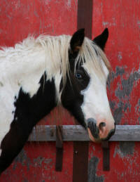 Creek Side Ace's Sir Aruthur, 2007 Gypsy Vanner Horse colt