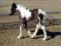 Little Asti, 2007 Gypsy Vanner Horse filly
